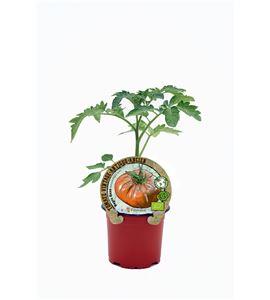 Tomate Negro Ruso M-10,5 Solanum lycopersicum - 02033002