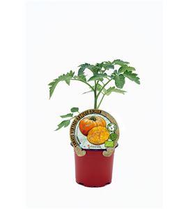 Tomate Ananas M-10,5 Solanum lycopersicum - 02033005