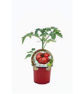Tomate Feo Tudela M-10,5 Solanum lycopersicum - 02033007