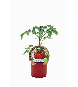 Tomate Costoluto Genovese M-10,5 Solanum lycopersicum - 02033009