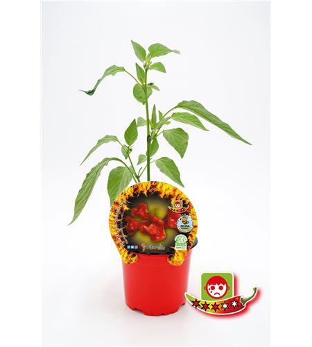 Picante Campanilla M-10,5 Capsicum baccatum - 02028003 (1)