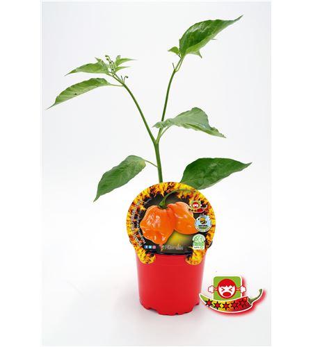 Picante Habanero Naranja M-10,5 Capsicum chinense - 02028011 (1)
