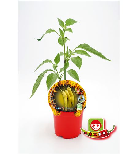 Picante Hot Banana M-10,5 Capsicum annuum - 02028013 (1)
