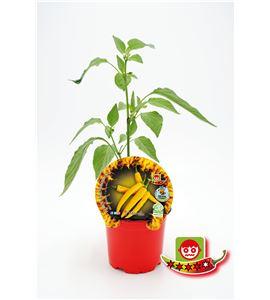 Picante Hot Lemon M-10,5 Capsicum baccatum - 02028014 (1)