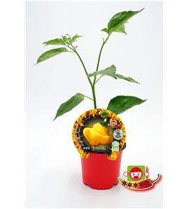 Picante Scotch Bonnet Yellow M-10,5 Capsicum chinense - 02028017 (1)