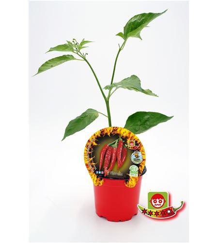 Picante Thai M-10,5 Capsicum annuum - 02028018 (1)