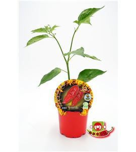 Picante Buth Jolokia Red M-10,5 Capsicum chinense - 02028021 (1)