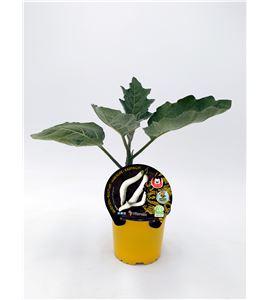 Berenjena Asia M-10,5 Solanum melongena - 02027011 (1)